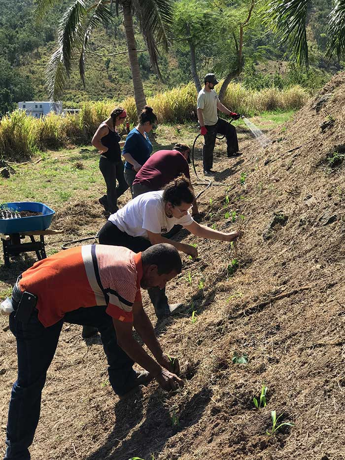 Planting terraced crop a new farm in Arroyo
